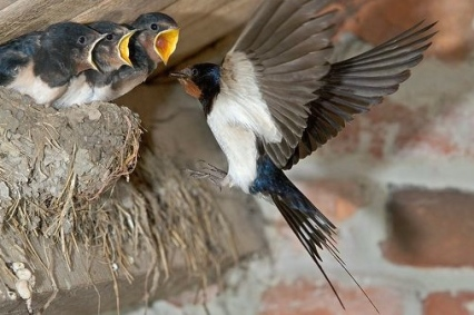 ARKive image GES088836 - Barn swallow
