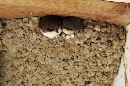 ARKive image GES123478 - House martin